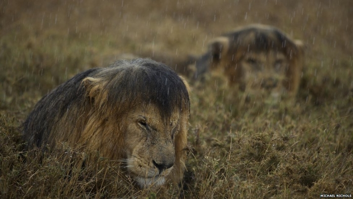 Mokry lew